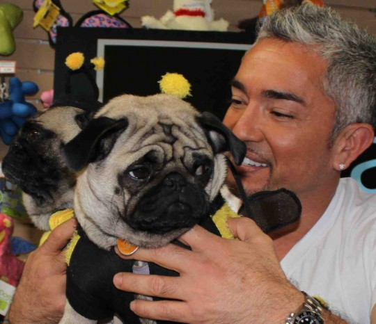 Cesar Millan with pugs dress as bumble bees.