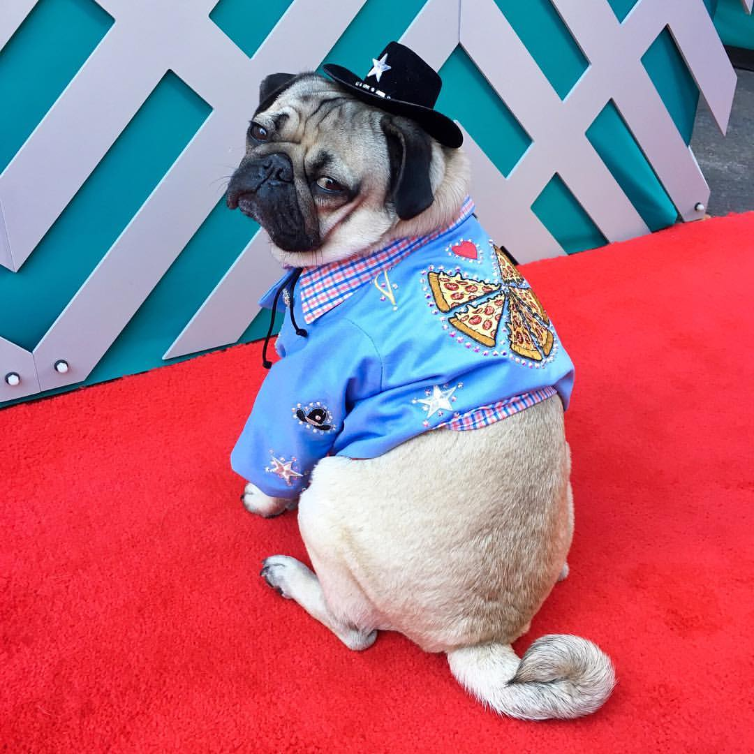 Exclusive with the canine king of social media doug the pug exclusive with the canine king of social media doug the pug m4hsunfo